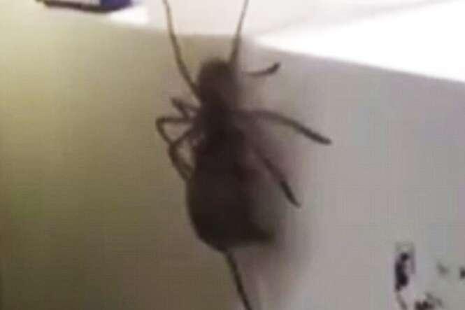 Aranha mata rato maior que ela para comer e enlouquece internautas