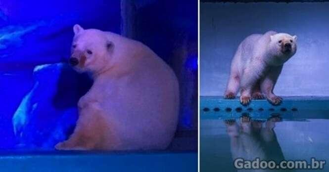 Urso polar mais triste do mundo: ele vive em um shopping