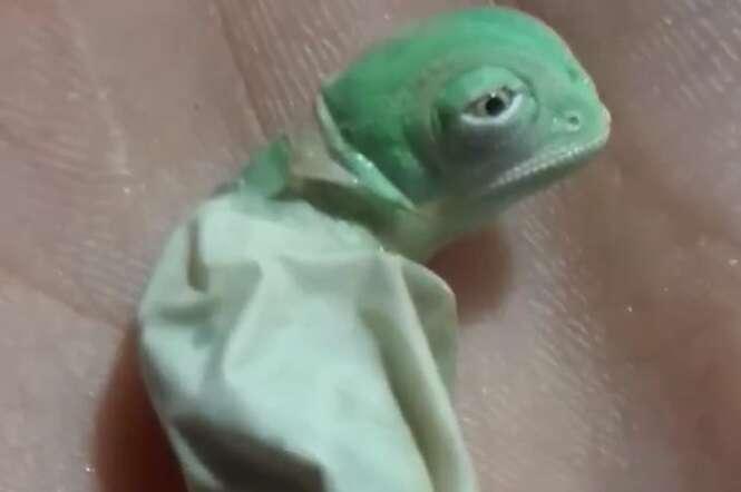 Vídeo: o nascimento deste bebê camaleão é uma das coisas mais adoráveis que você vai ver na vida