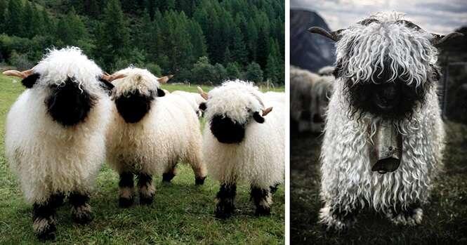 Imagens de ovelhas que você é quem vai dizer se são bonitas ou feias