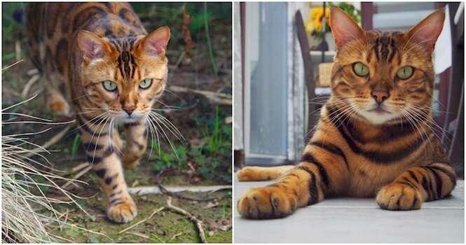 Conheça Thor, o gato-de-bengala que tem listras perfeitas