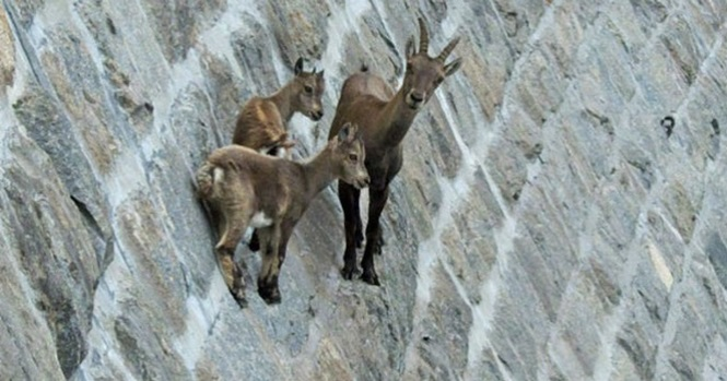 Imagens mostrando que cabritos-monteses não têm medo do perigo