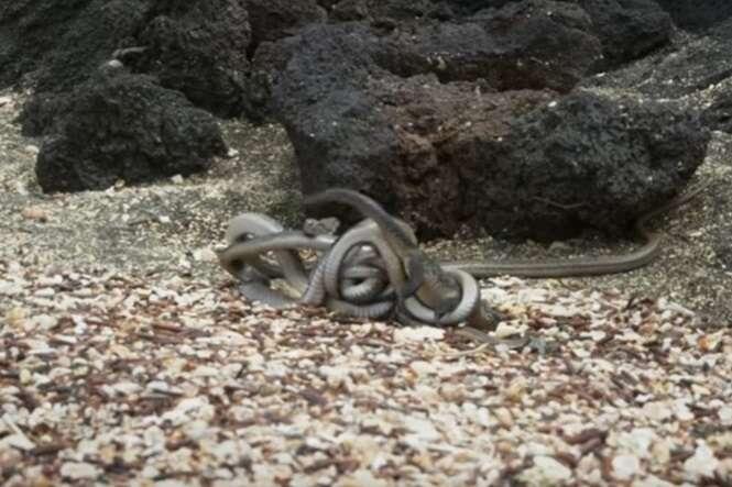 Cenas que você não viu: iguana sendo perseguido por cobras famintas vai fazer você suar de novo
