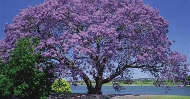 Kiri, a árvore que poderia salvar o mundo