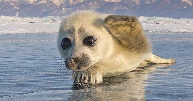 Fotógrafo passa 3 anos tentando fazer imagens de focas no gelo, até este lindo filhote se aproximar dele