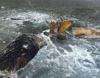 Dois alces que se enfrentavam em um combate mortal foram encontrados congelados assim
