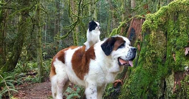 Esta minúscula cadela usa este São Bernardo como meio de transporte para onde quer que vai
