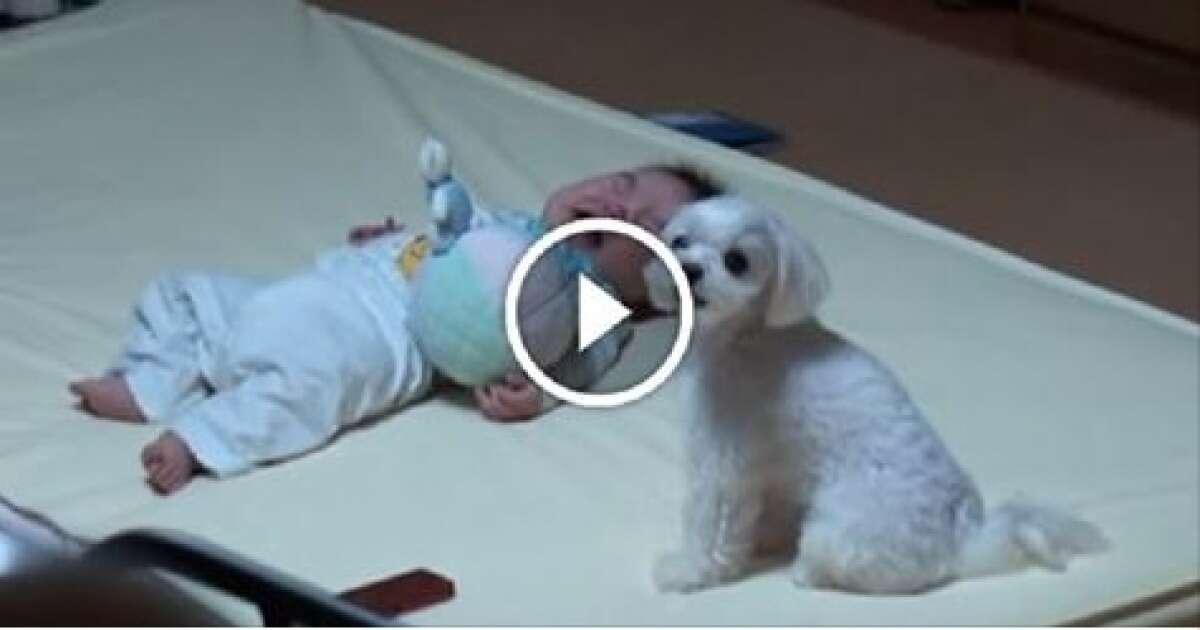 """Vídeo: este cãozinho possui uma """"técnica"""" especial para fazer o bebezinho para de chorar"""