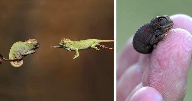 Adoráveis bebês camaleões que farão você se apaixonar por lagartos