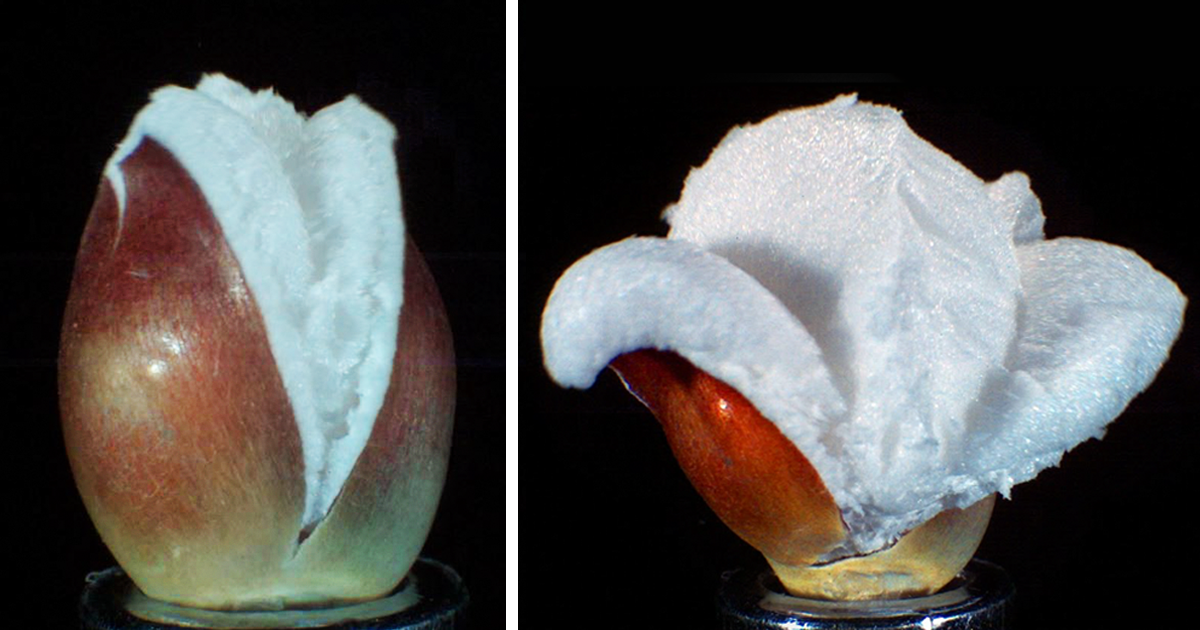 Vídeo incrivelmente satisfatório mostra milho se transformando em pipoca lentamente