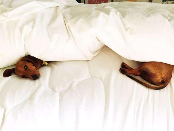 Fotos de cãezinhos salsicha que vão alegrar o seu dia