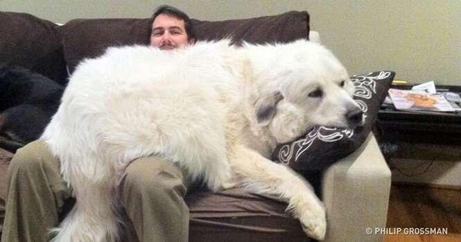 Cães adoráveis que não têm ideia do quanto são grandes