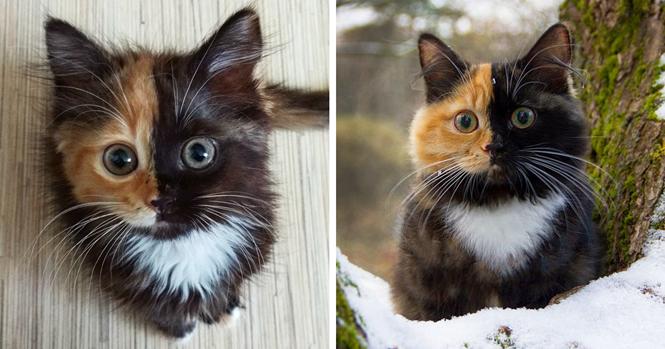 Conheça Yana, a gatinha de duas faces