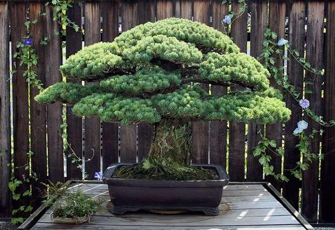 Bonsai de 391 anos que sobreviveu à bomba atômica de Hiroshima continua crescendo