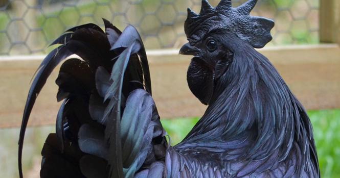 Esta galinha é completamente preta, das penas aos ossos