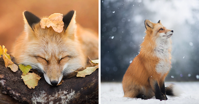 Conheça Freya, a belíssima raposa da Polônia