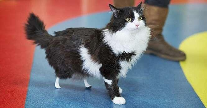 Este gatinho amputado ganhou patas biônicas, e você tem que ver ele andando novamente