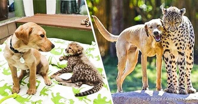 Antes e depois de animais que cresceram juntos