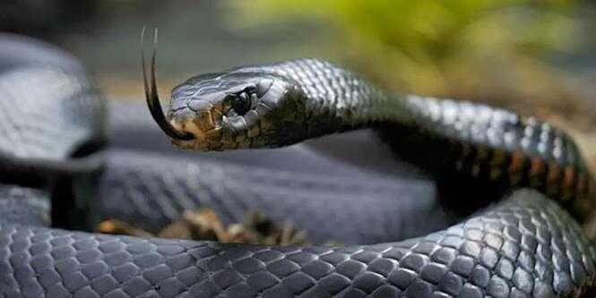 Conheça uma das serpentes mais mortais do mundo
