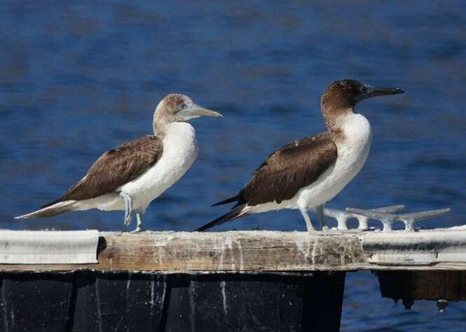 Pares de aves Sula simplesmente perfeitas