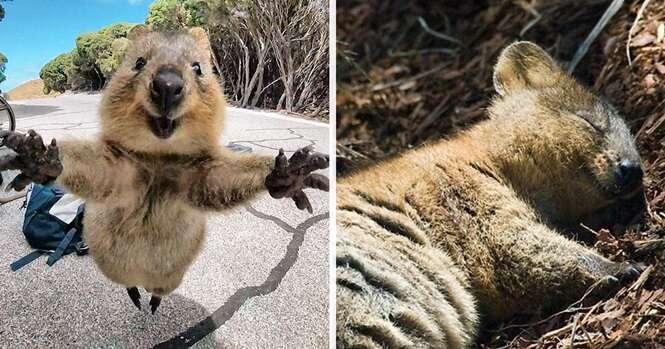 Fotos provando que os quokkas são as criaturas mais felizes do mundo