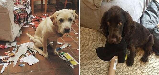 Cachorros envergonhados por que sabem que têm culpa no cartório