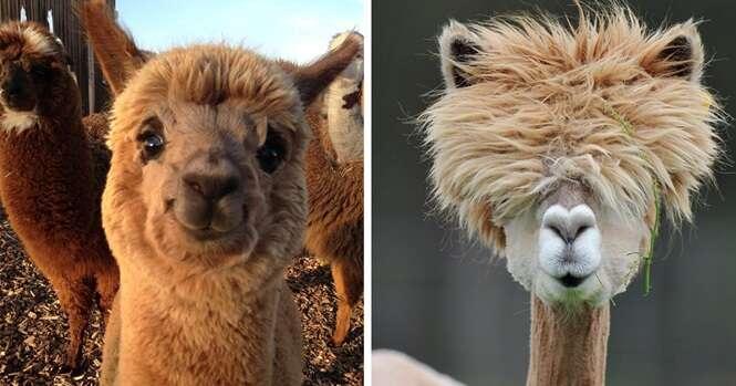Fotos de alpacas que vão fazer o seu dia ficar melhor