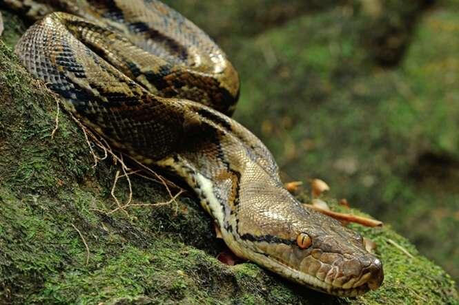 Jovem que estava desaparecido é descoberto dentro de cobra gigante