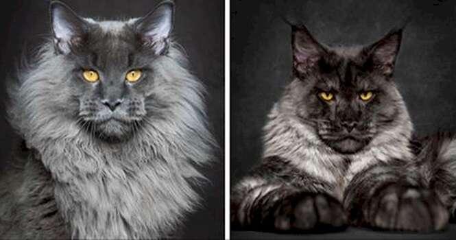 Estas fotos mostram a verdadeira beleza de gatos da raça Maine Coon