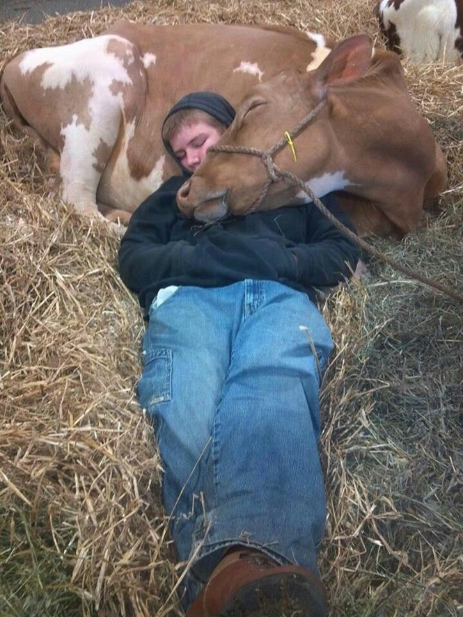Imagens provando que as vacas são cãezinhos fantasiados