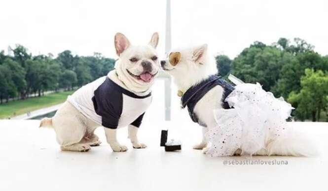 A sessão de fotos de noivado destes cãezinhos é a coisa mais fofa que você vai ver hoje
