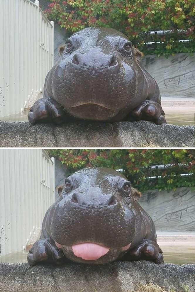 Bebês hipopótamos que tornarão seu dia melhor