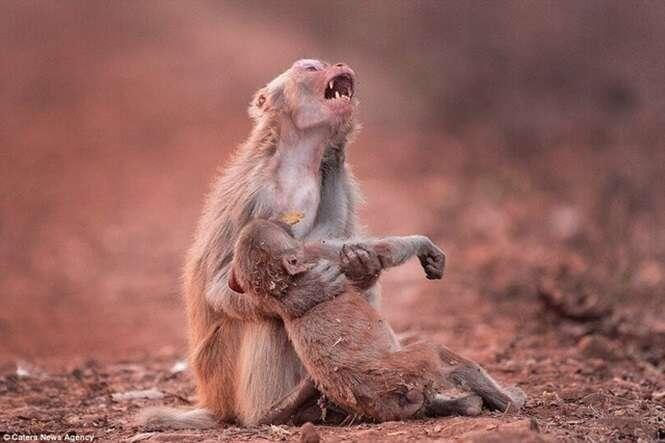 Imagem comovente mostra momento de dor de macaca ao segurar filhote doente