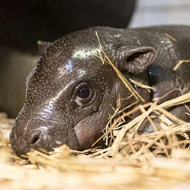 Imagens de bebês hipopótamos que tornarão o seu dia melhor