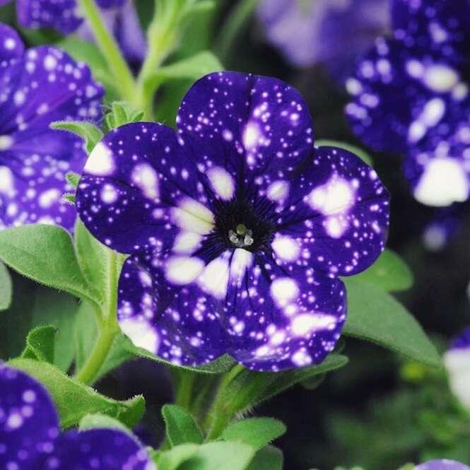 Estas flores fascinantes parecem possuir a galáxia em suas pétalas