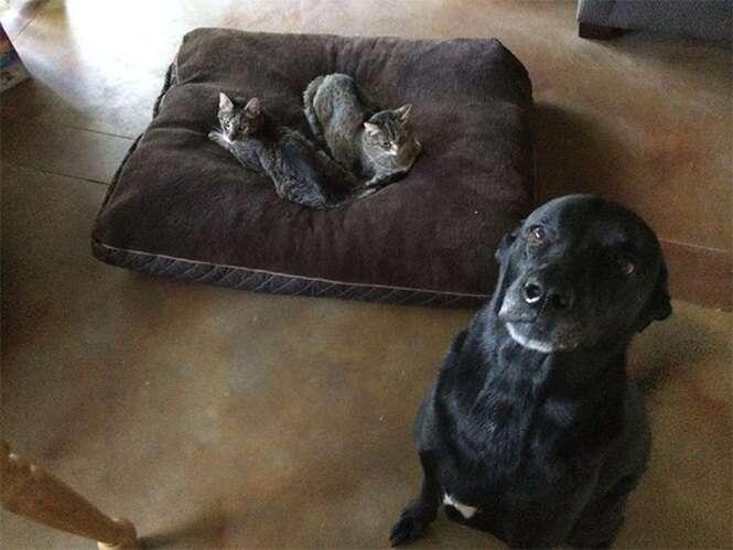 Gatos que roubaram as camas dos cães e não estão nem aí para isso
