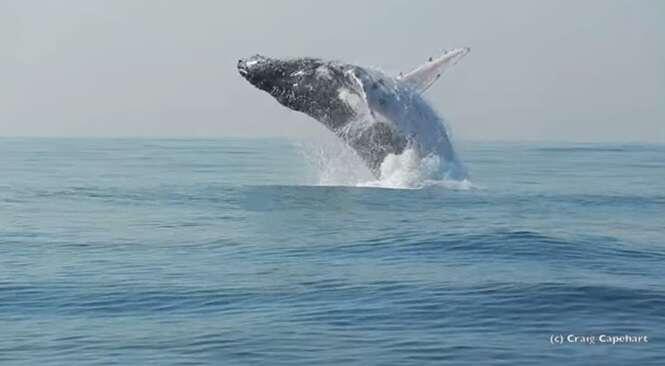 Vídeo incrível mostra momento em que baleia de 40 toneladas salta completamente para fora d'água