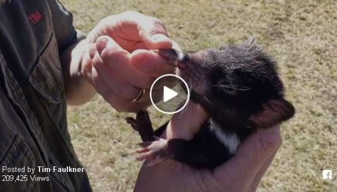 Vídeo: este bebê diabo-da-tasmânia é tão apaixonado pelo dono que o segue para todos os lados