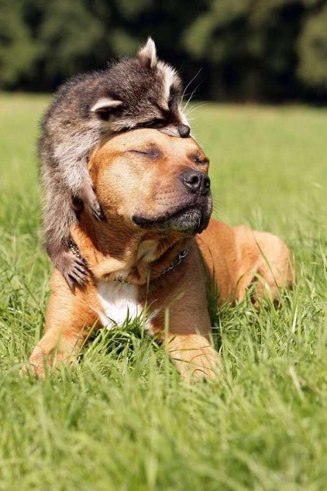 Imagens provando que os guaxinins são os animais mais fofos do mundo