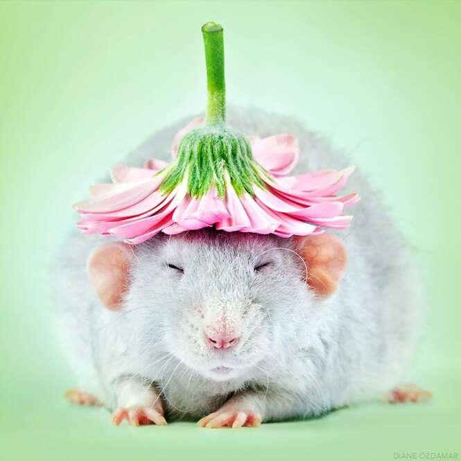 Fotógrafa passa anos registrando belas imagens de ratos para quebrar impressão negativa que temos destes animais
