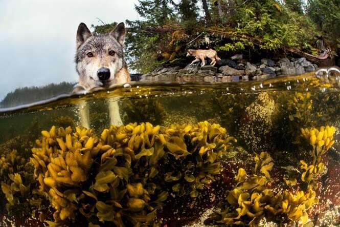 Conheça os raros lobos que vivem do mar e que podem nadar por horas