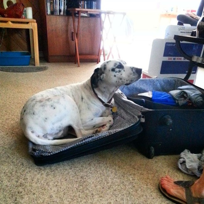 Animais que não estão à vontade com a ideia de seus donos viajarem