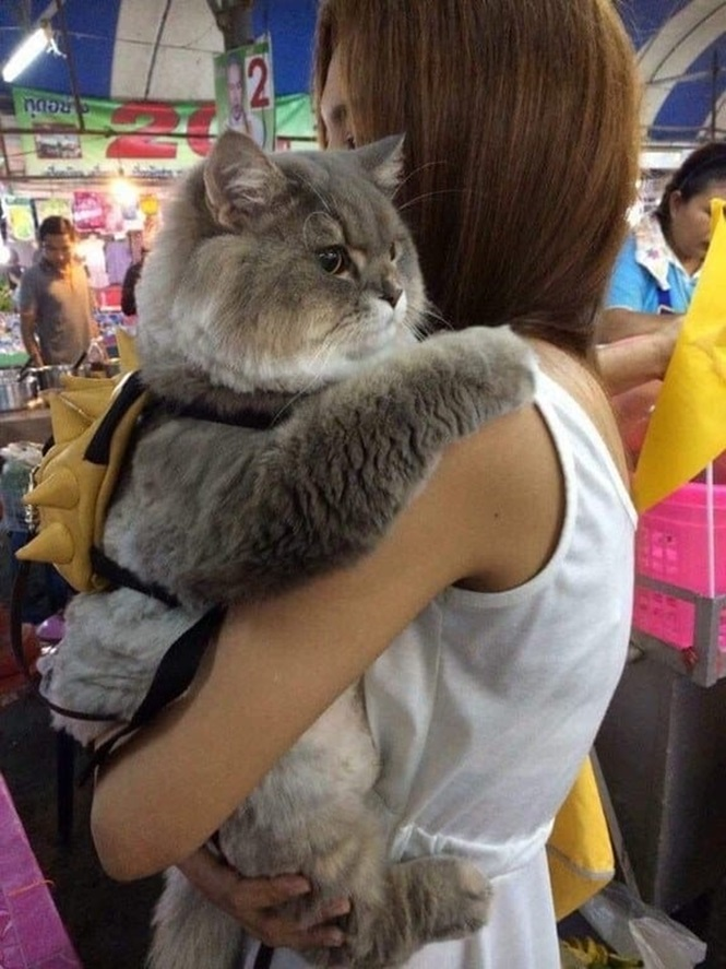 Gatos mais gordos que você vai ver na vida
