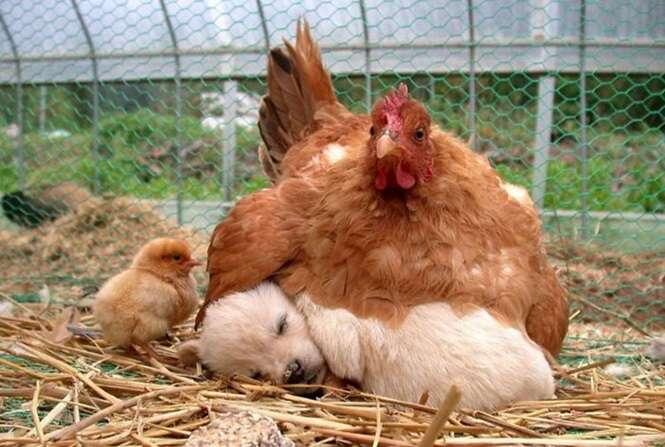 Fotos provando que as galinhas são as melhores mães do reino animal