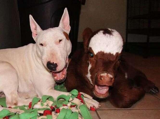 """""""Mini vaca"""" vive com 12 cães e agora pensa que também é cachorro"""