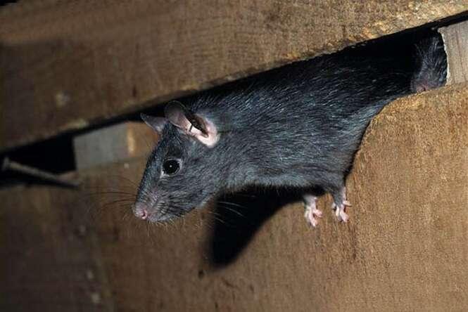 Sal, água e estes ingredientes secreto vão fazer os ratos desaparecerem da sua casa