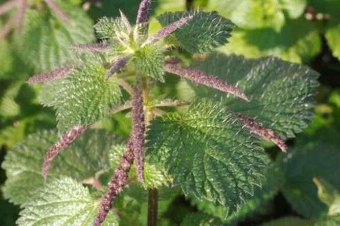 Conheça a planta que nutre, regenera e restaura o colágeno da pele