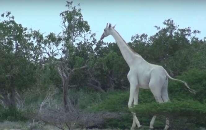 Vídeo mostra duas girafas brancas raríssimas em reserva queniana