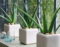 Estas são algumas das melhores plantas para se ter em casa, devido à sua potente ação purificante do ar