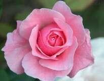 Suas plantas e rosas crescerão mais rapidamente e mais lindas com este simples fertilizante caseiro